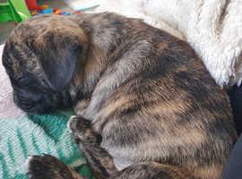 10 week pug puppy