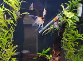 2 Coi Anglefish, 3 Pearl Gourami free to a good home