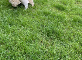 Stunning female West Highland terrier KC registered