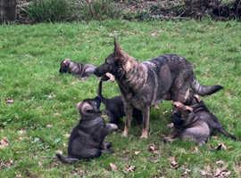 sporting/working German Shepherd puppys