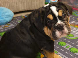 Stunning and Different Looking KC Registered English Bulldog Puppy
