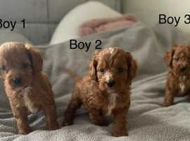 F1 Red Cavapoo Puppies