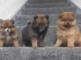 3 beautiful fluffy male Pomeranians
