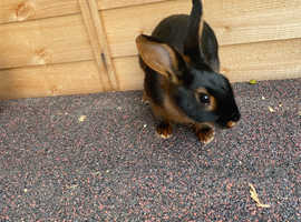 Black and Tan Rex rabbit for sale