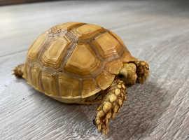 Tortoise Sulcata (Ivory)