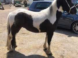 Ideal companion / project / family pony