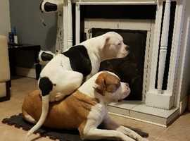 Healthy, playful, content and Loving.... American Bulldogs