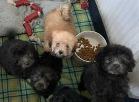 Pomapoochi Puppies For Sale