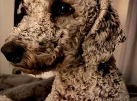 Looking for Bedlington terrier!
