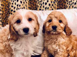 F1 Cockapoo Puppies