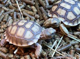 SULCATA Tortoise babies 2020