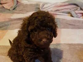 Toy poodle girls