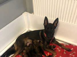 Belgian Shepherd/malinois puppies. Ready March