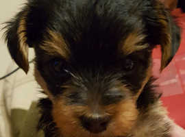 yorkshire terrier boy