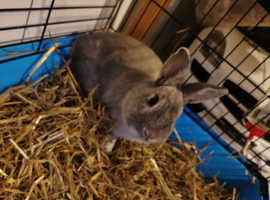 Male rabbit for sale.