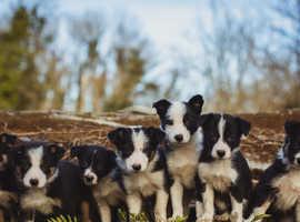 Welsh collie puppies