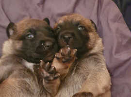 4 belgian malinois for sale purebred