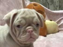 Extremely rare blue eye pink pugs