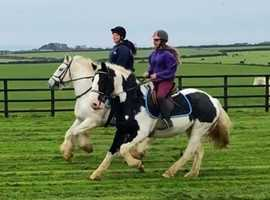 Hunting/eventing coloured cob