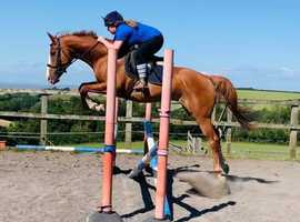 Stunning 15.3hh Part Bred Arab 6 yrs