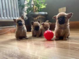 Adorable Pomchi pups for immediate sale