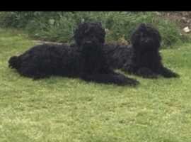russian black terrier for stud only