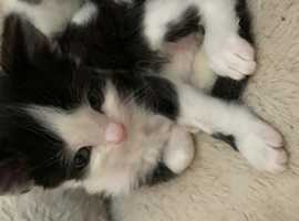 Male kitten for sale (mum is in second pic)