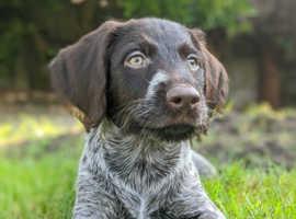 Fantastic GWP pups,parents
