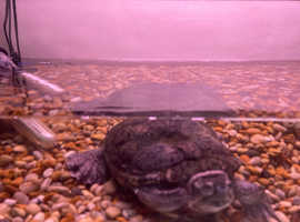 Terrapin and large tank free to good home