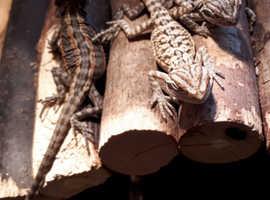 Very Rare Translucent G-Stripe Leatherback Baby Bearded Dragons