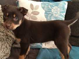 Pure Bred Kelpie Pup For Sale
