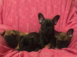 Beautiful French bulldog puppies for sale health tested parents