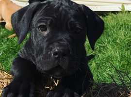 Champion cane corso pups available