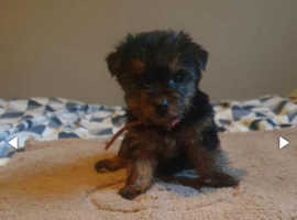 Two 9 week old  Teacup Yorkshire terrier puppys