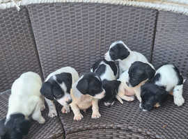 Sprollie puppies for sale