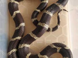 male California king snake