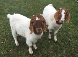 2 friendly male Boer goats