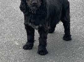 cocker spaniel 2 1/2 years old