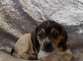 Stunning little beagle boy