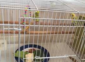 a pair of parrotlets with cage