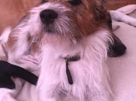 Old Rough coated Jack Russel for Stud
