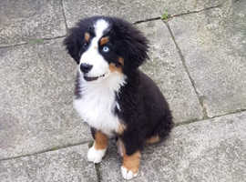 Bernese male puppy