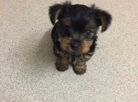 Gorgeous eight week old female Yorkshire terrier