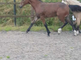 Sports horse x part bred welsh filly foal x coloured event-er, show jumper potential