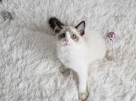 TICA ACTIVE RAGDOLL FEMALE AVAILABLE