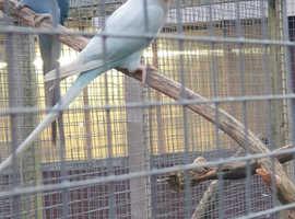 Proven female Palid Blue Ringneck Parakeet