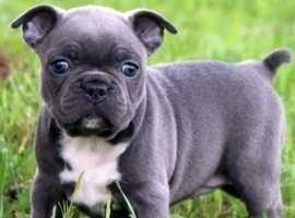 bubblykc french bulldog puppies** perfection**