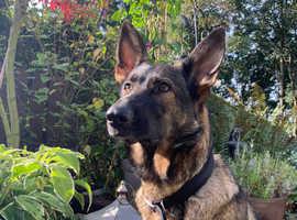 3 wonderful German Shepherd pups left
