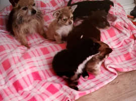 Tiny chorkie puppies