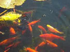 Pond fish for sale to another pond